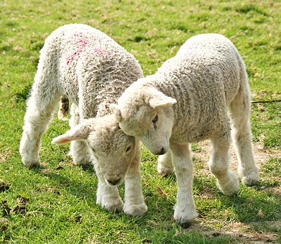 Lamb | texanerin.com